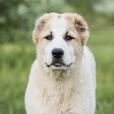 Race chien Berger d'asie centrale