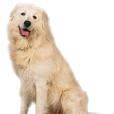 Race chien Berger de la maremme et des abruzzes