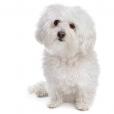 Race chien Bichon bolonais