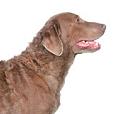 Race chien Retriever de la baie de chesapeake
