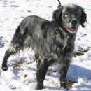 Race chien Epagneul bleu de picardie