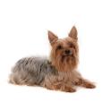Race chien Terrier australien à poil soyeux