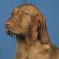 Race chien Braque hongrois à poil dur