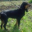 Race chien Chien courant suisse - bruno du jura