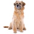 Race chien Chien de berger des pyrénées à face rase