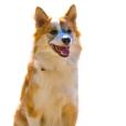 Race chien Chien de berger islandais