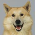 Race chien Chien de canaan