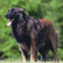 Race chien Chien de la serra estrela poil long