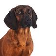 Race chien Chien de recherche au sang de hanovre