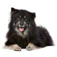 Race chien Chien finnois de laponie