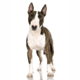 Race chien Bull terrier