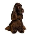Race chien Field spaniel