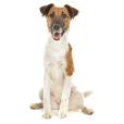Race chien Fox terrier à poil lisse