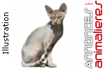 Chatons devon rex disponibles