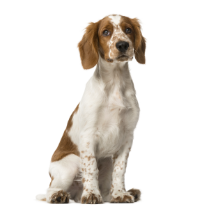 Race chien Welsh springer spaniel