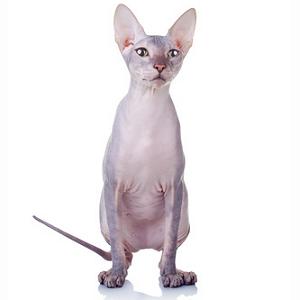 ou acheter un chat munchkin en belgique