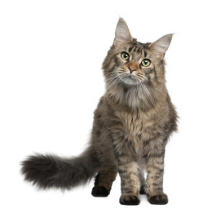 Race chat Maine coon
