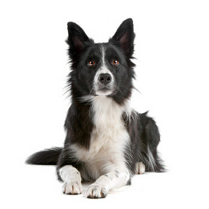 Race chien Border collie