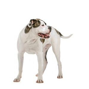 Les élevages de Bulldog americain
