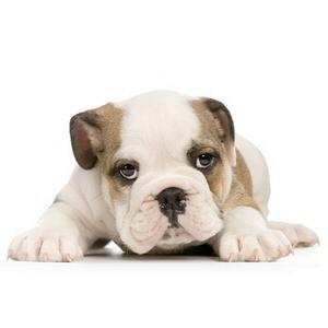 Les élevages de Bulldog