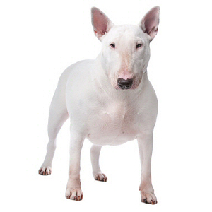 Race chien Bull terrier miniature