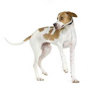 Race chien Pointer