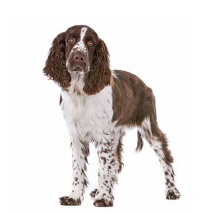 Les élevages d'English springer spaniel