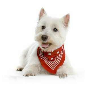 Les élevages de West highland white terrier