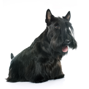 Les élevages de Scottish terrier