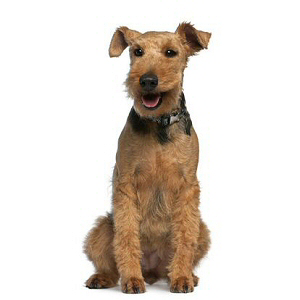 Race chien Welsh terrier