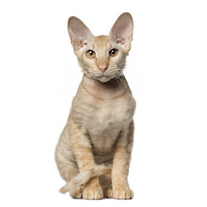 Race chat Peterbald