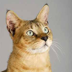 Race chat Chausie