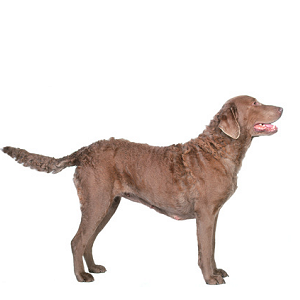 Race chien Retriever de la baie de chesapeake