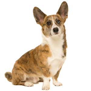 Race chien Welsh corgi cardigan