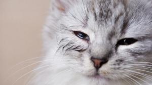Mon chat est blessé à l'oeil