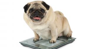 L'excès de poids et problèmes articulaires chez les chiens et les chats