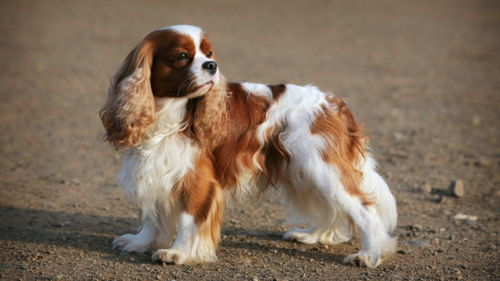 Petits chiens : pensez à faire examiner leur cœur régulièrement
