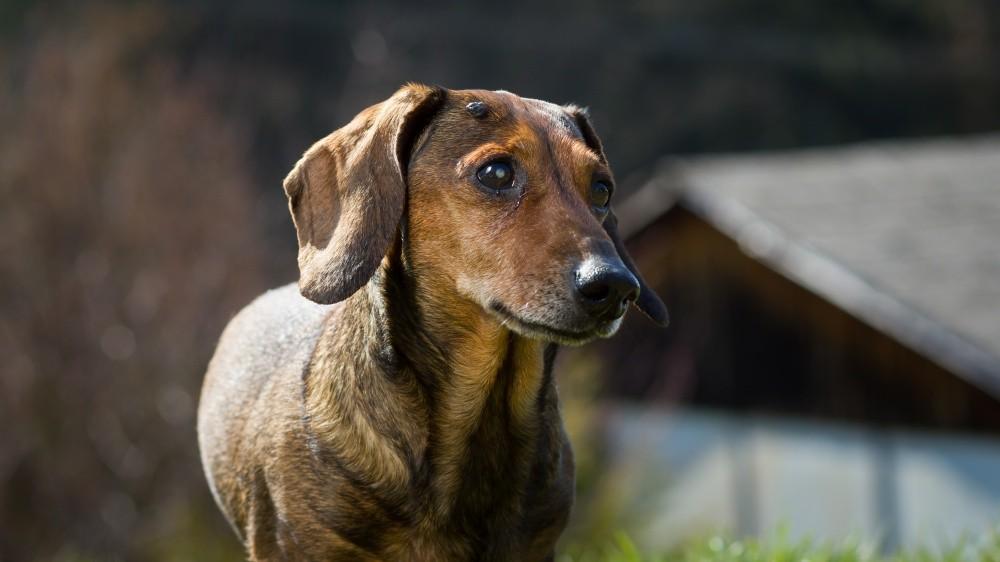 Tumeurs cutanées chez le chien : prédispositions raciales