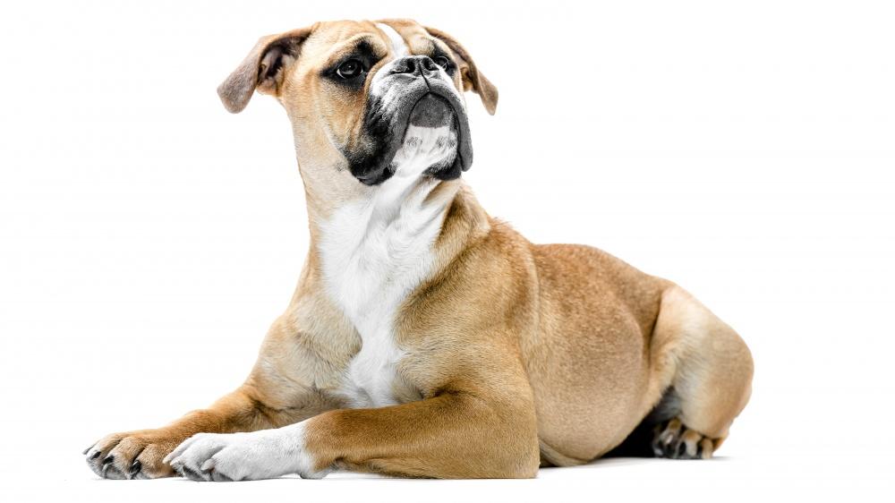 Standard du Bulldog Continental
