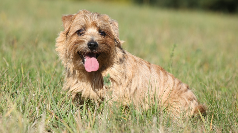 Norfolk Terrier - Standard de race FCI 272 - Eleveurs ...