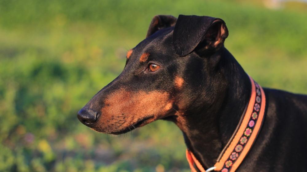 Manchester Terrier - Standard de race FCI 71