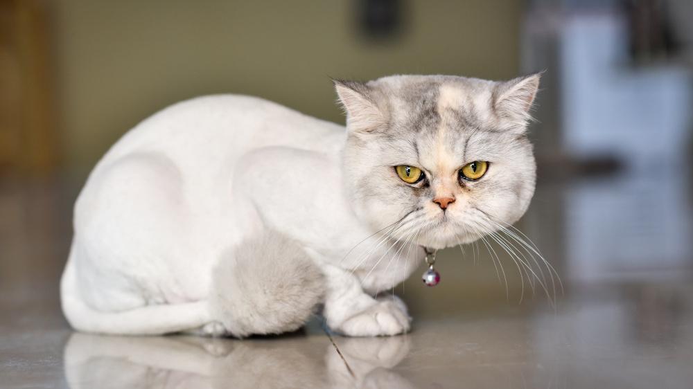 Chats à poil long : attention à la dermatophytose