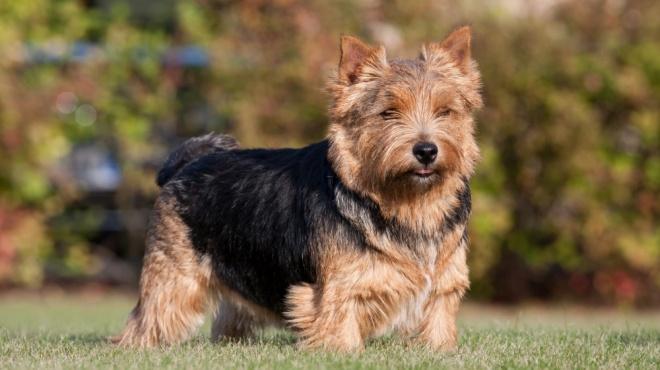 Norwich Terrier : Origine, Description, Caractéristiques ...