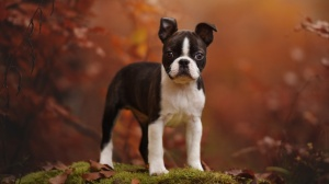 Les élevages de Boston terrier