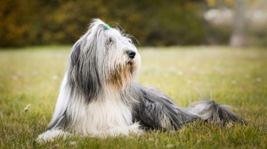Les élevages de Bearded collie