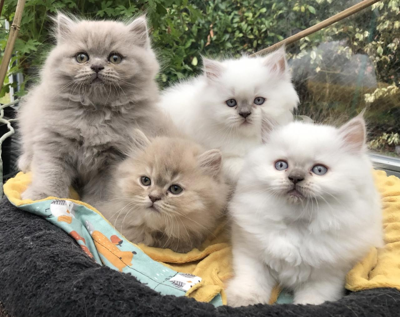 Chatons lady de milfort