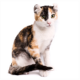 American curl poil court