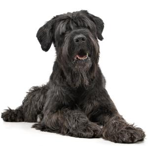 Les élevages de Terrier noir russe