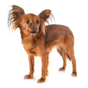 Les élevages de Petit chien russe