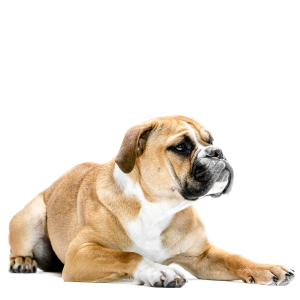 Les élevages de Bulldog continental